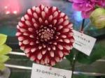 ダリアの華展2013101204