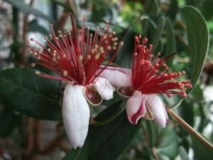 フェイジョア花